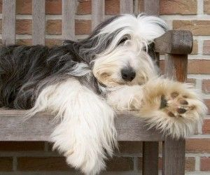 Want a bearded collie like my childhood dog for our family pet