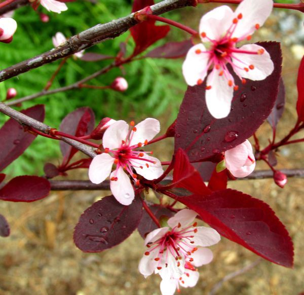 9 Great Trees And Shrubs With Purple Leaves Tree With Purple Leaves Pink Spring Flowers Purple Leaf Sand Cherry