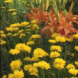 Coréopsis 'Louis d'or'