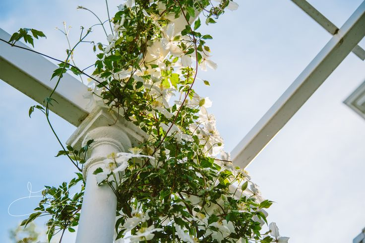 Clematis in full bloom over one of our pergolas - Classical garden by Eugene Gilligan Garden Design
