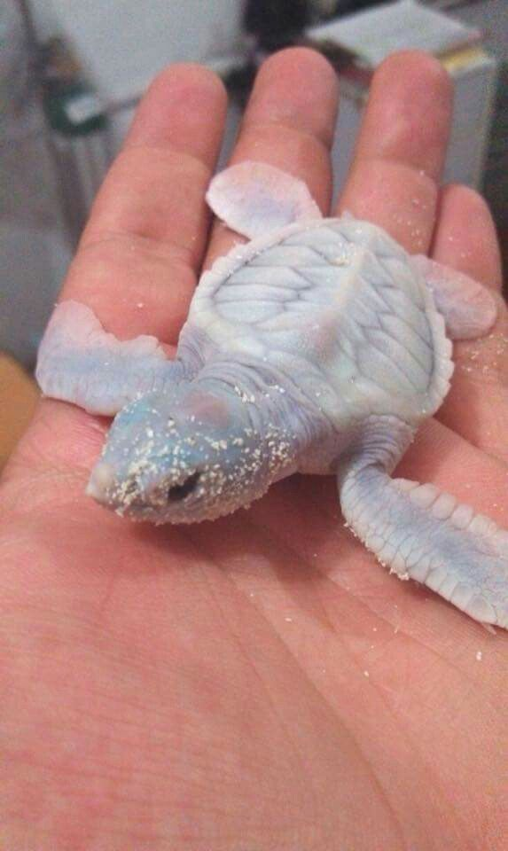 An albino sea turtle - so beautiful!