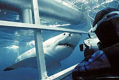 Cage diving with Great White Sharks - Dive Adventures Australia