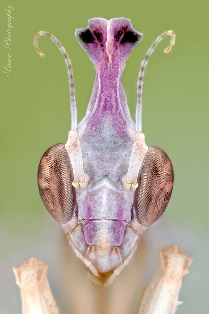 Photo Idolomantis diabolica l2 by sauce7  on 500px