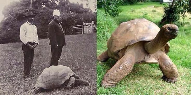 Jonathan the turtle in 1900 and again in more recent times.