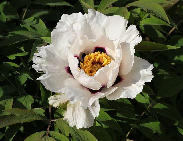 Pivoine arbustive (Paeonia suffruticosa), arbuste, culture, entretien