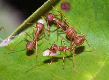 Kerengga or Asian Weaver Ant - Oecophylla smaragdina - These members of the family Formicidae are shown here constructing a part of their nest. They use the larvae to produce larval silk in order to join together leaf edges on their way to building the nest