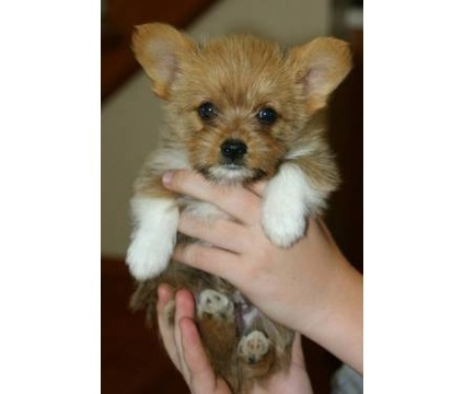 Teacup Corgi Yorkie!!!!!!!!!!!!!!!! | Yorkies | Pinterest ...
