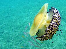 Medusa (animal) - Wikipedia, la enciclopedia libre