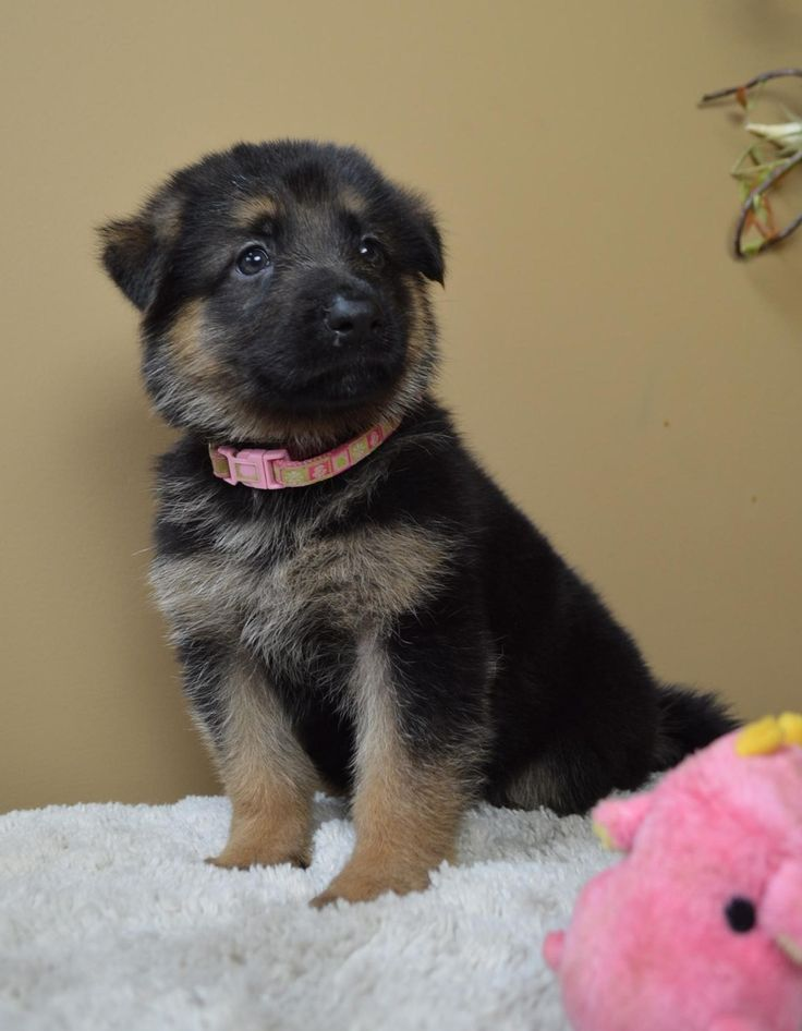 Appleridge Obedience Family German Shepherds Puppies GSD ...