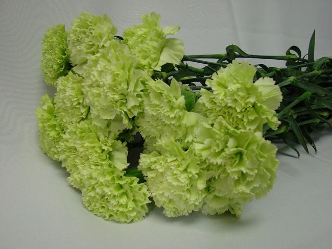 Fillers & Flowers Carnations Green
