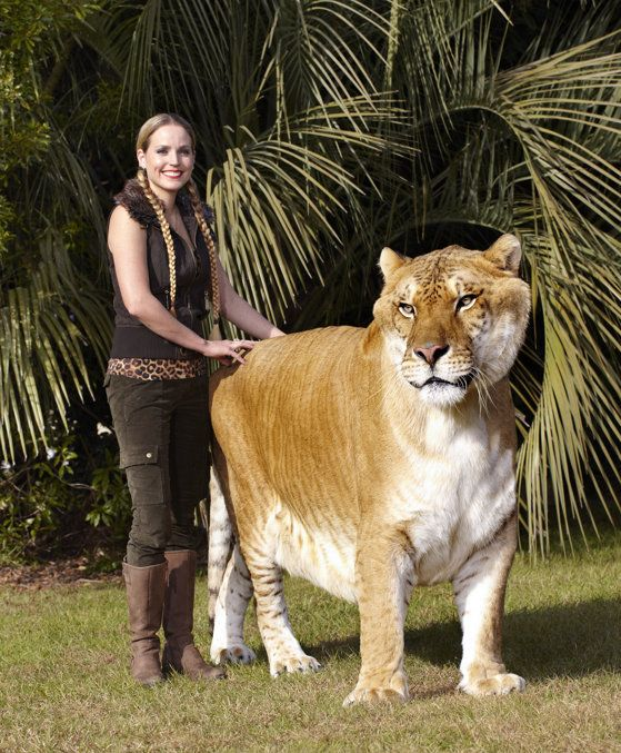 Guinness World Records The Largest Living Cat Is Hercules An Male Liger Lion X Tigress Hybrid Curly House A Newsworthy Information Pinte