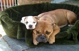 Le continental Bulldog est une race de chien suisse issue du croisement entre bulldog anglais et le old english bulldog.
