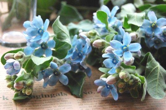 ブル-スタ- 花言葉。。信じあう心 5枚の花びらが輝く星のように見えることからブル-スタ-に。 ウェディングブ-ケやsomething blueとしても。。 1本250~