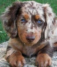 merle aussie shepard puppy looking cute! check out the lovely blue eyes! Sweet baby!