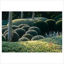 westringia topiary for Australian gardens