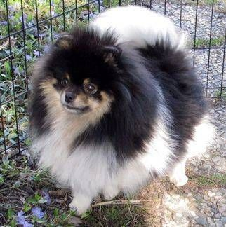 Anne's Pomeranians - Ladies 2