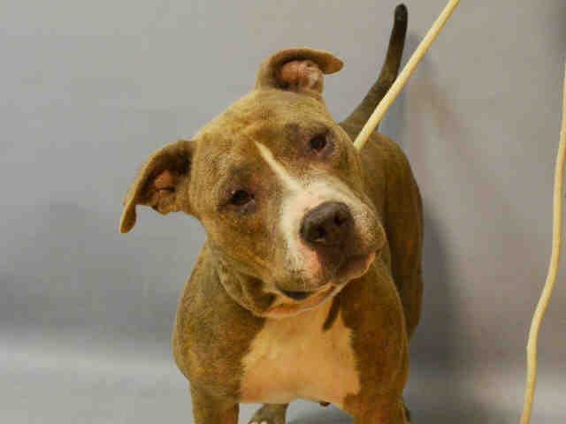 PRINCESS LIA - A1095395 - - Brooklyn  Please Share:TO BE DESTROYED 11/04/16 **ON PUBLIC LIST** -  Click for info & Current Status: http://nycdogs.urgentpodr.org/princess-lia-a1095395/