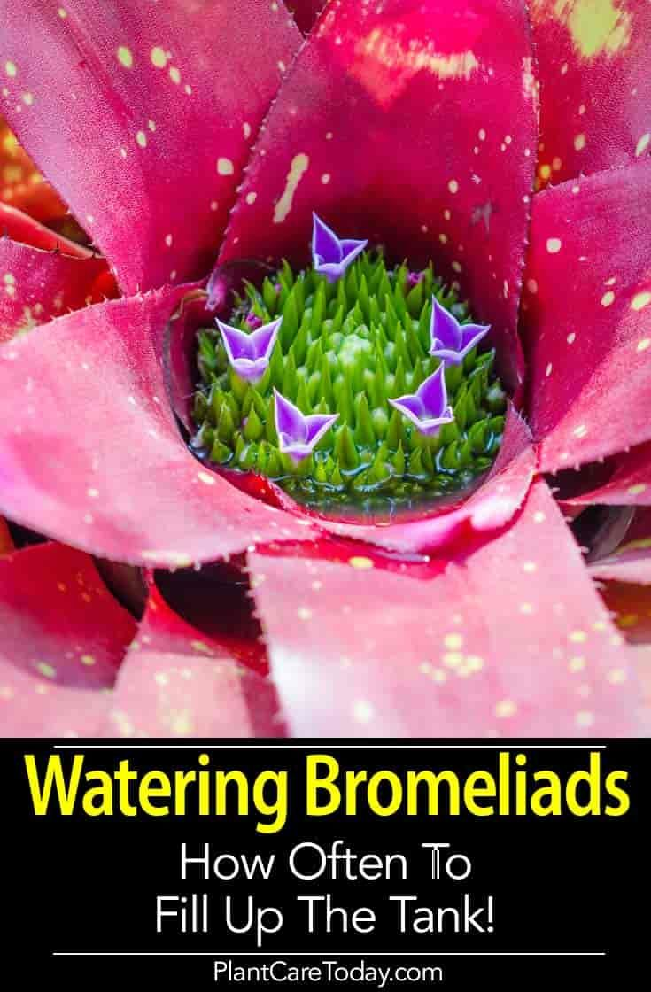 Watering Bromeliads How To Water A Potted Bromeliad Bromeliads Bromeliads Landscaping Bromeliads Garden