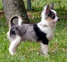 Blue Merle Chihuahua Male of Tokalon's Chihuahuas. Often people mistake Blue merle Chihuahuas with Miniature Aussies, which are two separate breeds.