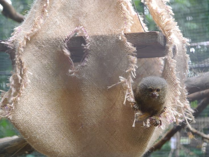The Titi Leon peeking out of its enrichment activity.