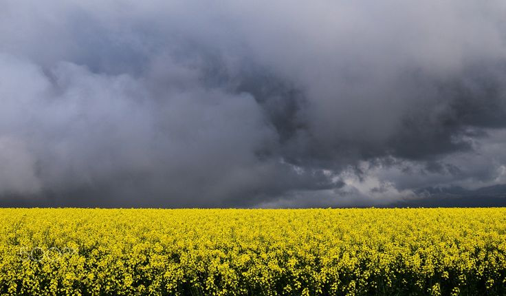 Canola Contrast - A crop of yellow canola flowers, against a dark and stormy sky near Caledon, Overberg, South Africa.