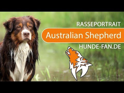 63 Australian Shepherd Breed Standard Asca In 2020 With Images