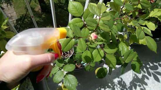lutter parasites des plantes avec peau de banane et ail