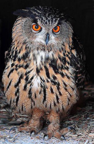 Gufo reale Eurasian eagle-owl.