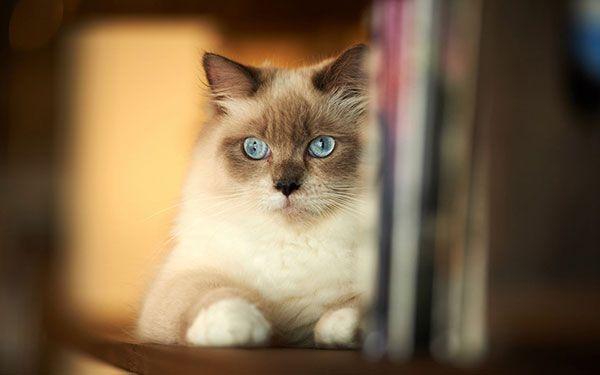 تحميل 100 صورة خلفيات قطط رائعة وعالية الدقة مداد الجليد Siamese Cats Cats Cute Cat Wallpaper