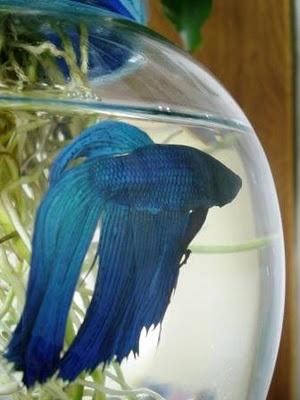 84 Best Pretty Betta Fish Images On Pinterest