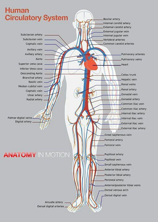 Arteries And Veins Of The Human Body Arteries Inside The Skull