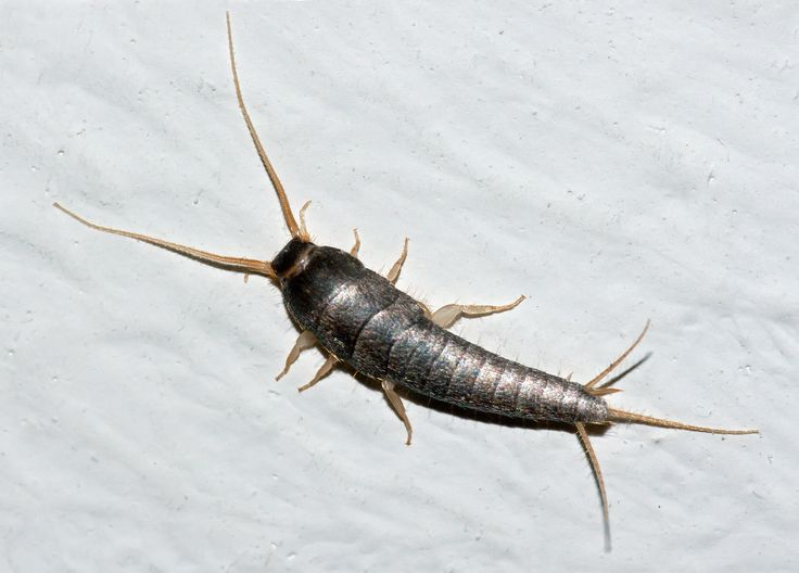 Silverfish (Lepisma saccharina) on a room wall. Estimated length: 1 cm (body only). | Insect of the Order: Thysanura