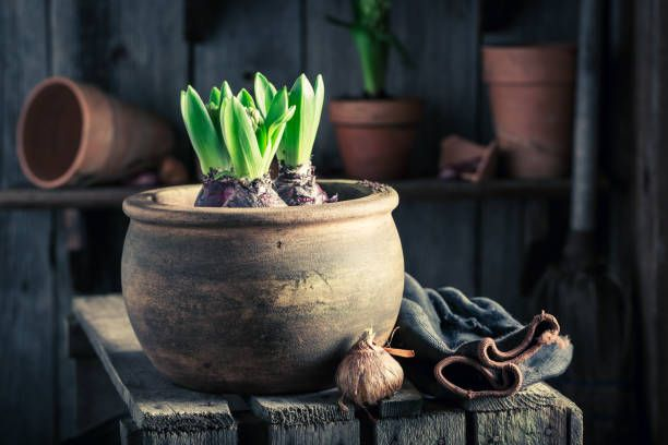 planting a green crocus in an old wooden workshop