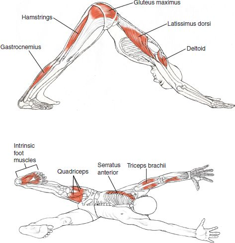 Adho Mukha Svanasana -  Leslie Kaminoff Yoga Anatomy Illustrated by Sharon Ellis