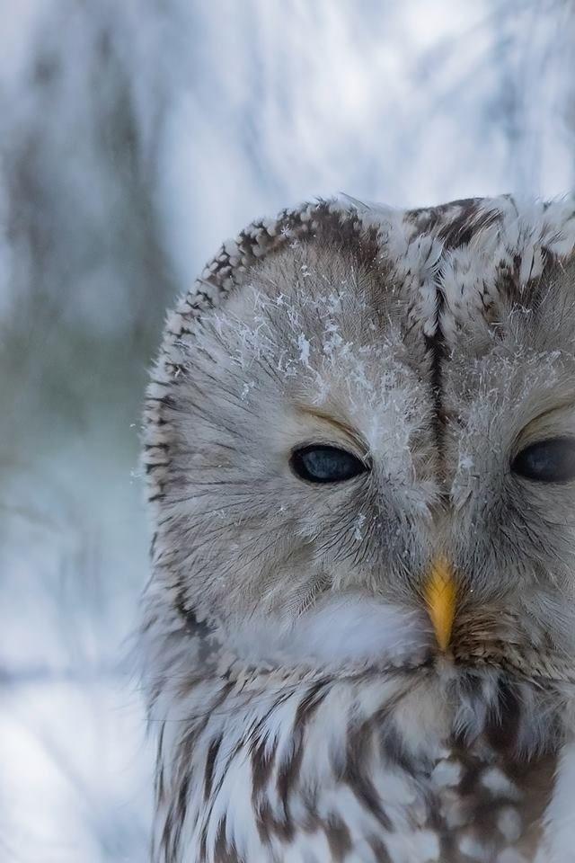 Ural owl turning into snowman https://www.facebook.com/torpedoowl