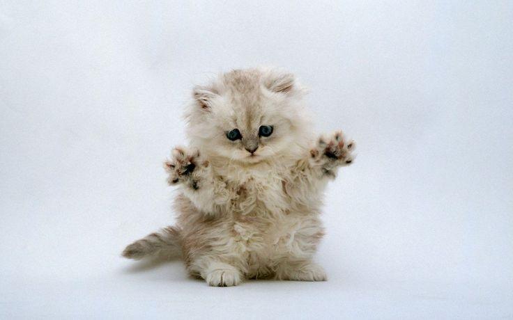 Jazz Hands!: Jazz Hands, Fingers, Pet, Funny Kittens, Cute Cat, Kitty, Persian Cat, Cute Kittens, Animal