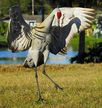 Sandhill Crane Dance to impress his future mate for life. The courtship usually includes some very unusual dances. -- Many Sandhill Cranes grow to 4 feet tall and have a wingspan of 7 feet. They usually live 20 to 40 years.