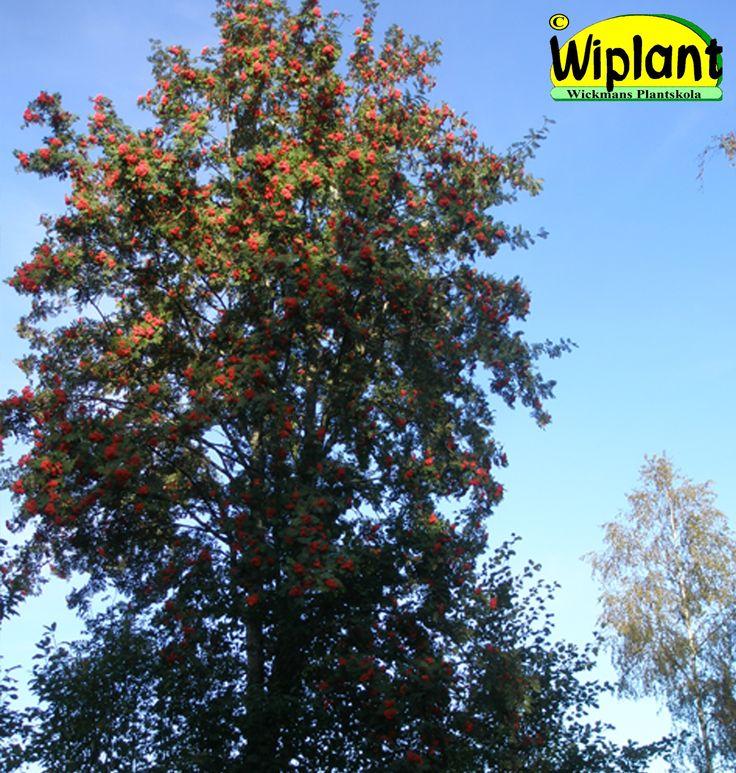 Sorbus aucuparia, Rönn. Fina röda frukter på hösten. Höjd: 4-12 m.