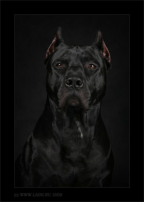 Wow. This is absolutely gorgeous. The intensity of the face makes me think of Zeus. Oh yes!! I will have another one soon. Can't wait. Best dog on the planet.