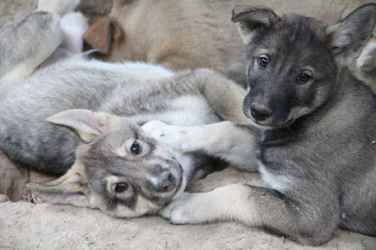 West Siberian Laika | West Siberian Laika | Pinterest