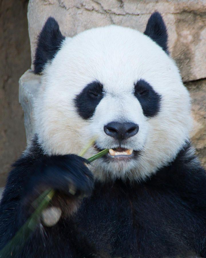 Panda Bear Print by Jack Nevitt