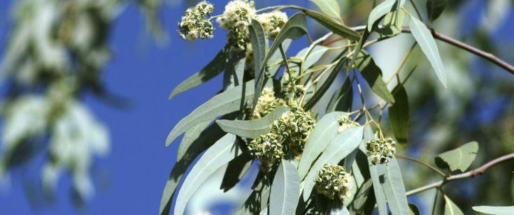 56 best eucalyptus radiata huile essentielle hydrolat for Antitussif maison