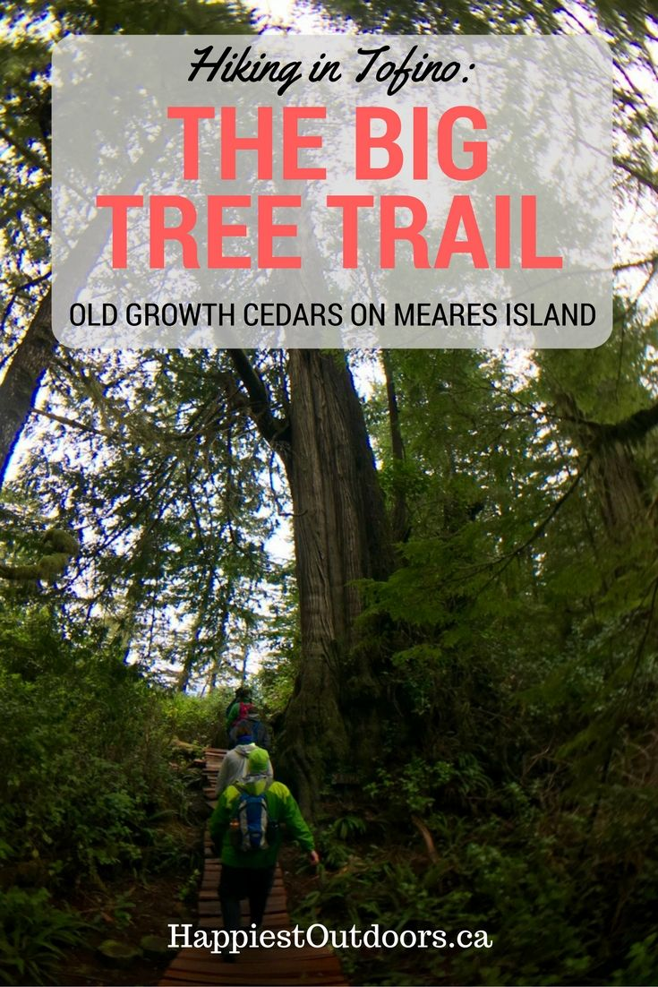Hiking the Big Tree Trail in Tofino, BC. Giant old growth cedar trees on Meares Island.  Rainforest hiking in Tofino, BC.