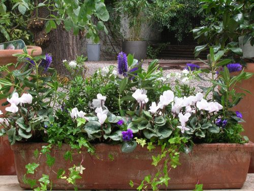 Autumn and winter window box... Hebe and cyclamen