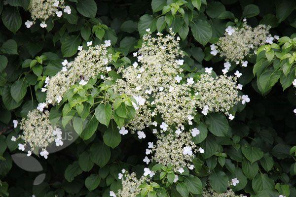 Hydrangea anomala subsp. petiolaris flowers