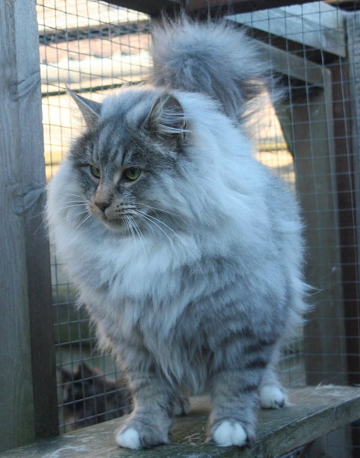 Norwegian Forest Cats at (UK) Our Males