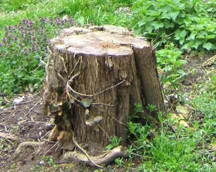 How to remove tree stumps without chemicals or tools   Permaculture Magazine