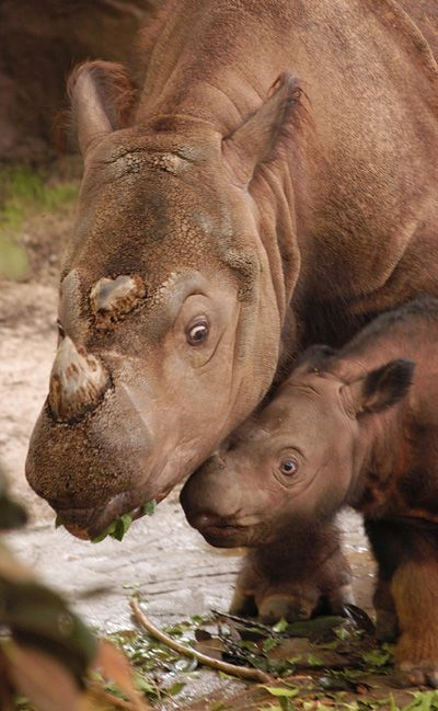 Sumatran Rhinoceros (Dicerorhinus sumatrensis), critically endangered