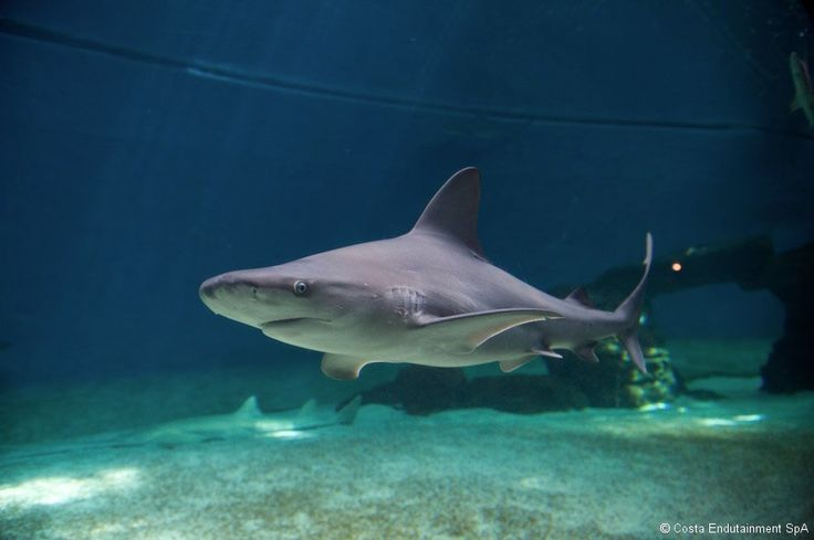 #Sandbar #sharks are widespread in temperate and tropical waters all over the world.  #AcquariodiGenova #AcquarioVillage