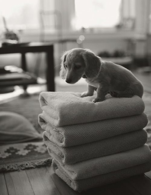 : Weenie Dogs, Doxi, Dachshund Puppys, Baby Animal, Weiner Dogs, Little Puppys, Wiener Dogs, Towels, Little Dogs